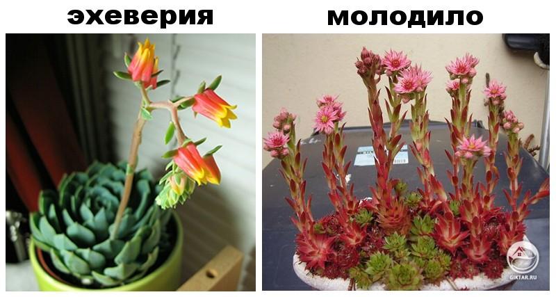 цветение эхеверия или молодило