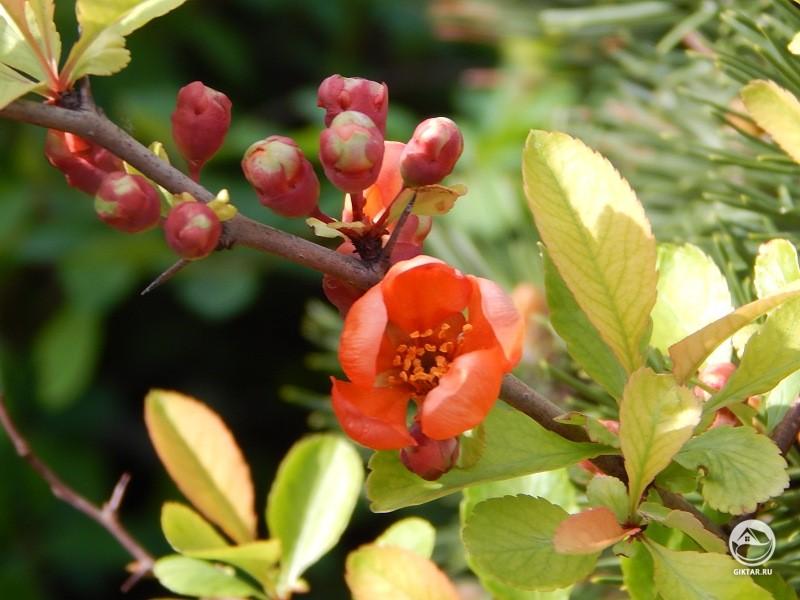 Айва японская или хеномелес японский: выращивание и уход