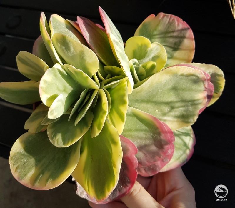 Каланхоэ thyrsiflora variegata